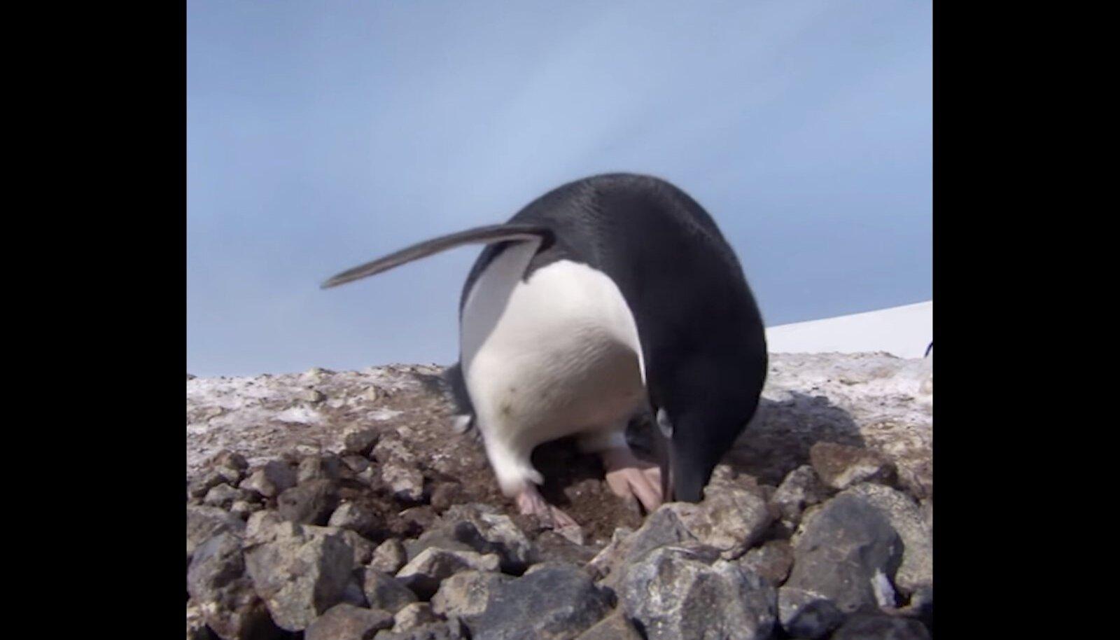 Kivivargast pingviin