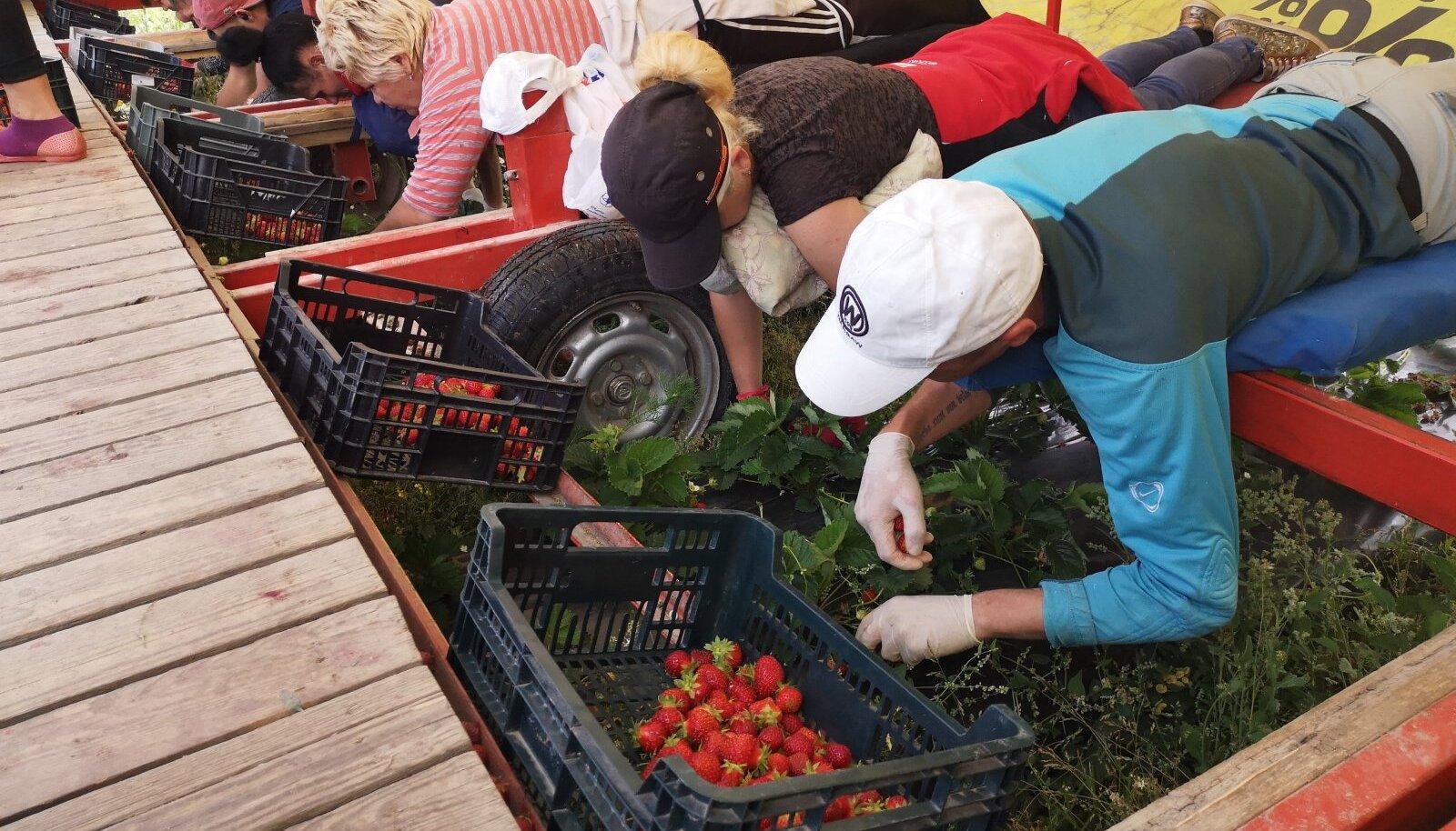 Iseäranis suurde hätta sattusid sel suvel maasikakasvatajad, kes pidid üle poole saagist põllule jätma, sest korjajaid lihtsalt ei olnud.