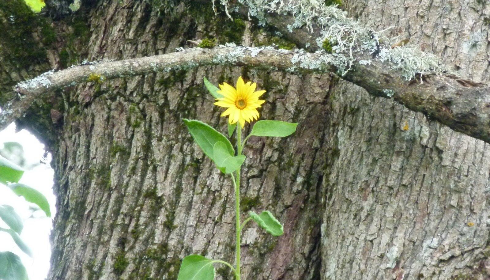 Selleaastane ime vana vahtra otsas – umbes kümne meetri kõrgusel, kus puu kaheks hargneb, kasvama hakanud päevalill. Ta kasvas, õilmitses, kuni ühel hommikul oli murdunud.
