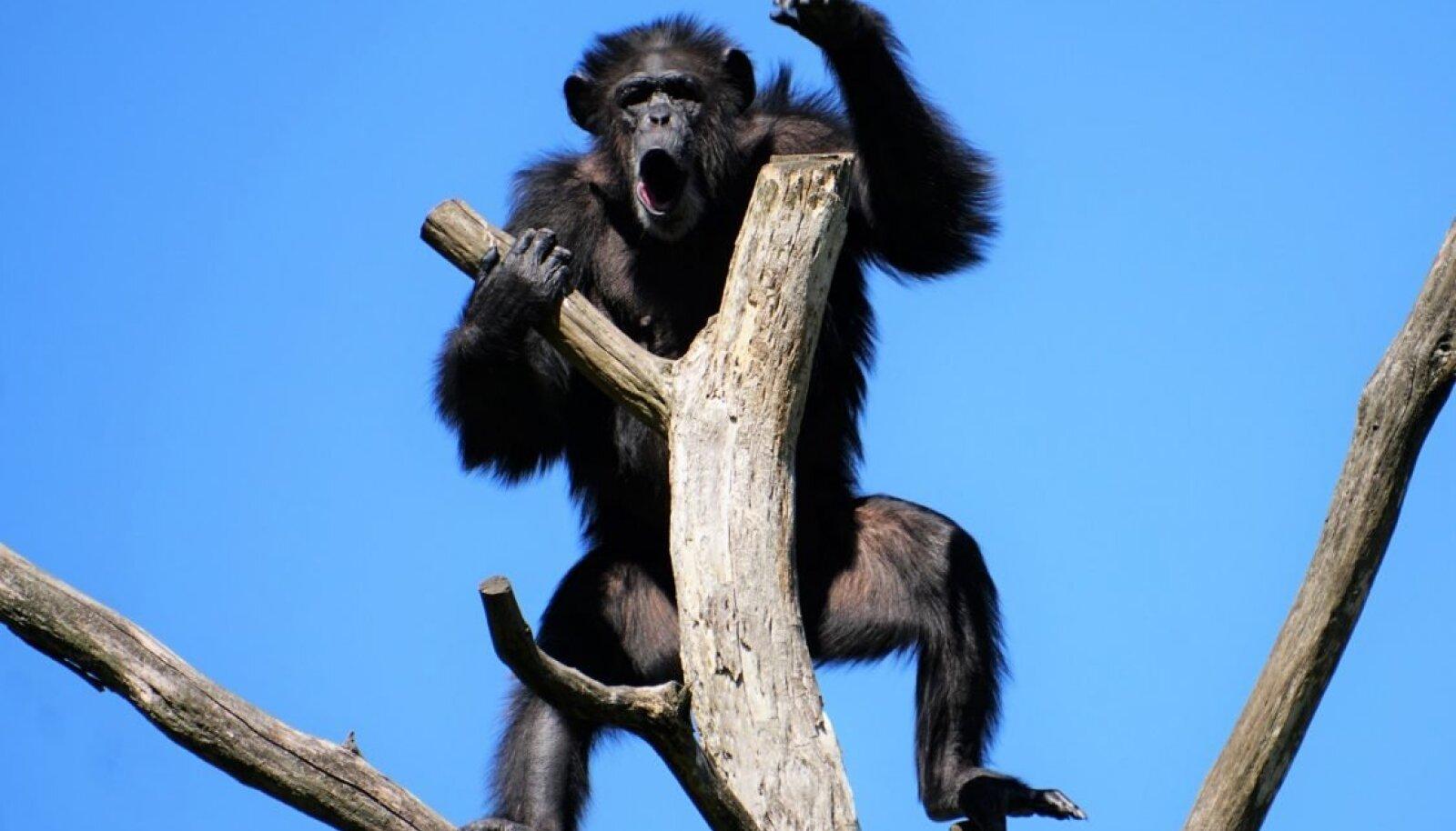 Šimpans Quincy