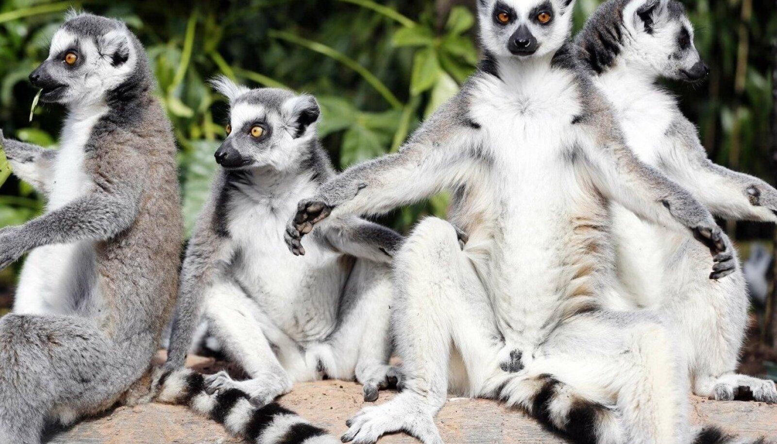 """Madagaskari ühed tuntumad asukad on leemurid, kes esinevad ka esimeses jaos kolmeosalisest lnglise loodusdokist """"Troopilised saared""""."""