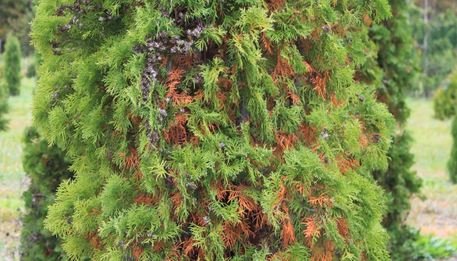 Harilik elupuu on sügisese okkavahetuse ajal pruunikirju, kuid kevadel pruunid okkad varisevad.