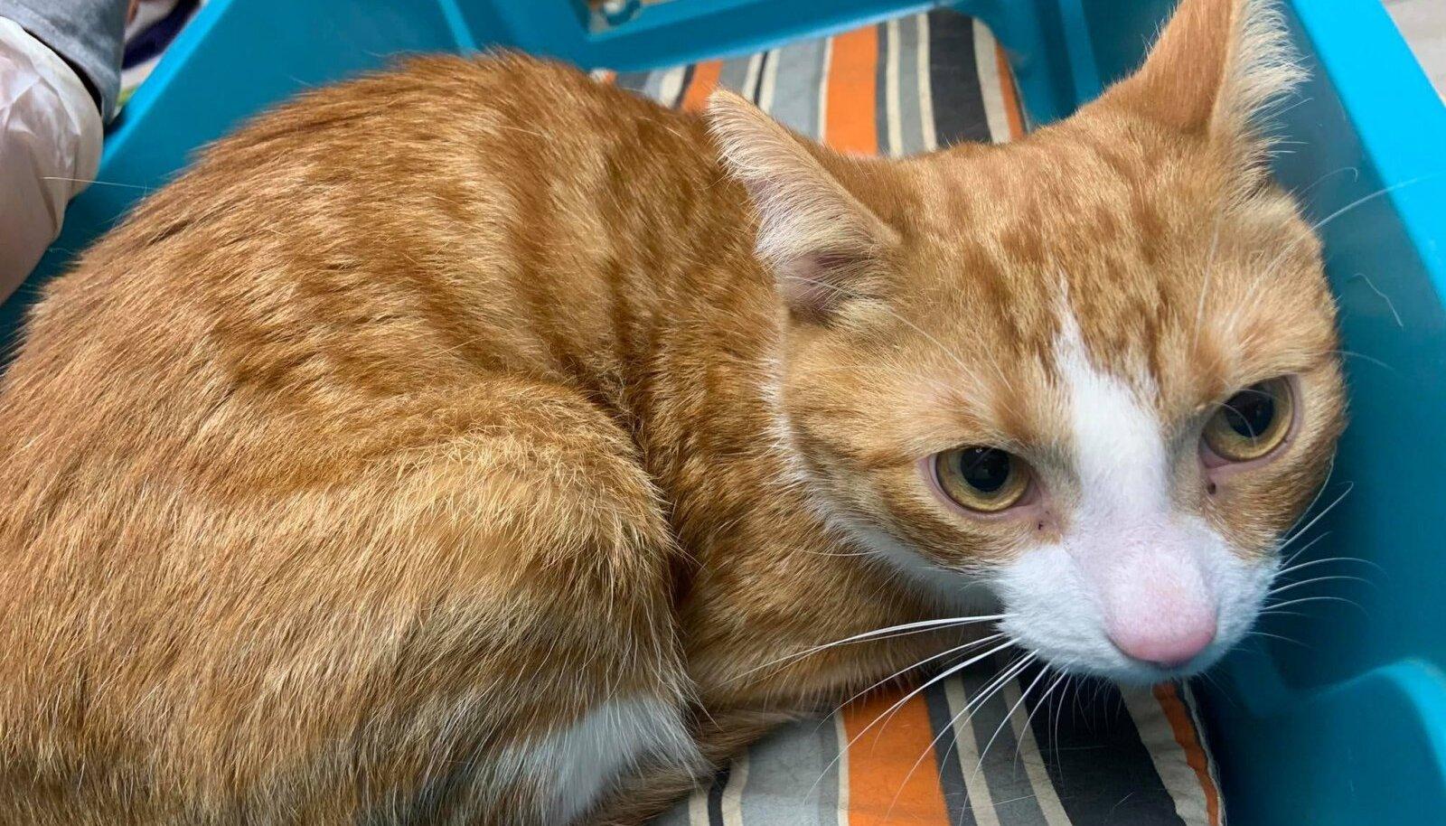 Haabersti loomakliinikusse toodud kass, kellest omanik soovis allergiale viidates vabaneda