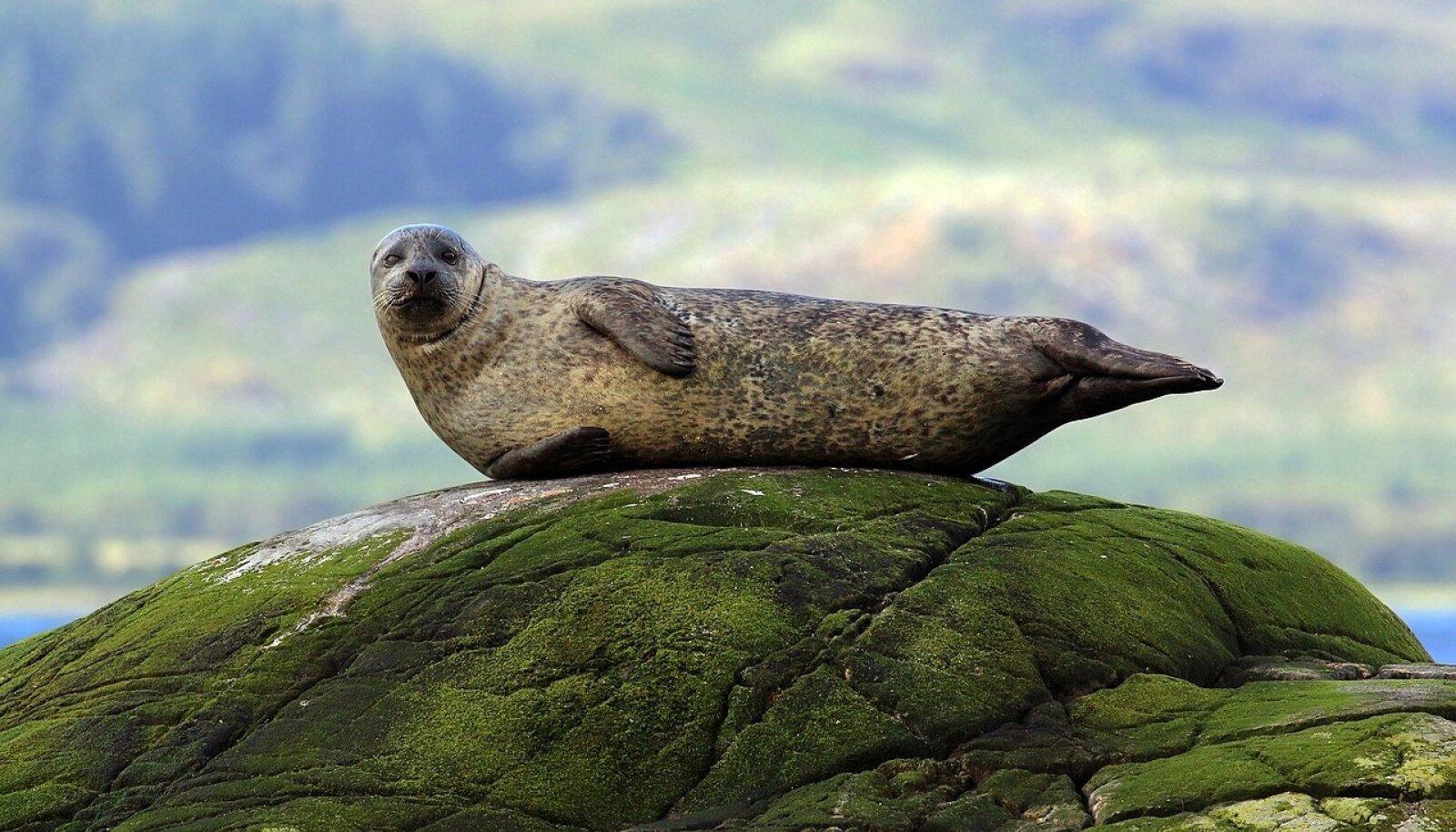 Illustreerival eesmärgil pilt randalhülgest, sest miks mitte. (Wikimedia Commons / Charles J Sharp)