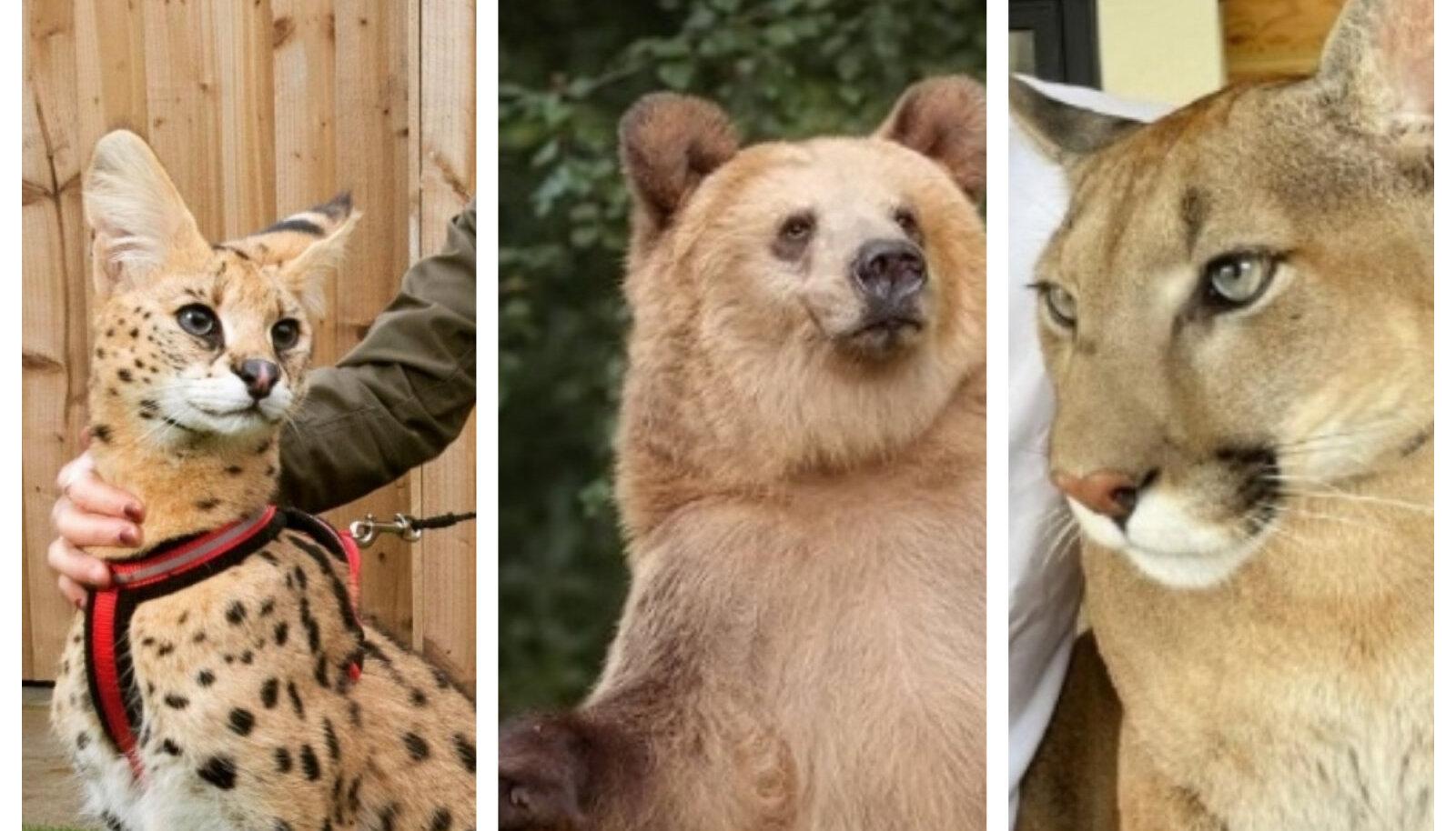 Serval Anubis, karu Stepan ja puuma nimega Messi
