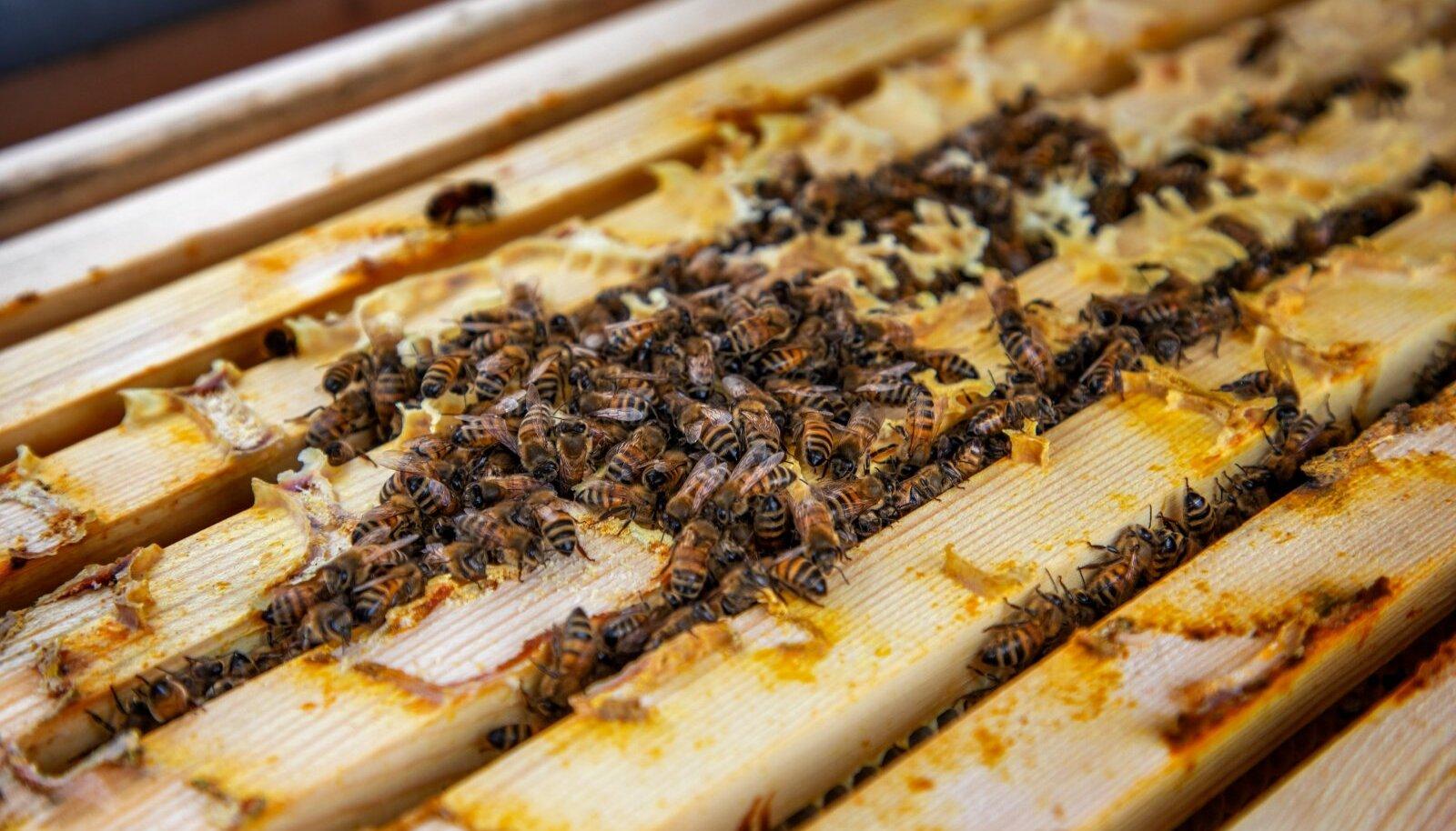 OÜ Ehe Mesi, OÜ Muhe mesi, mesilased, talv, mesilastaru