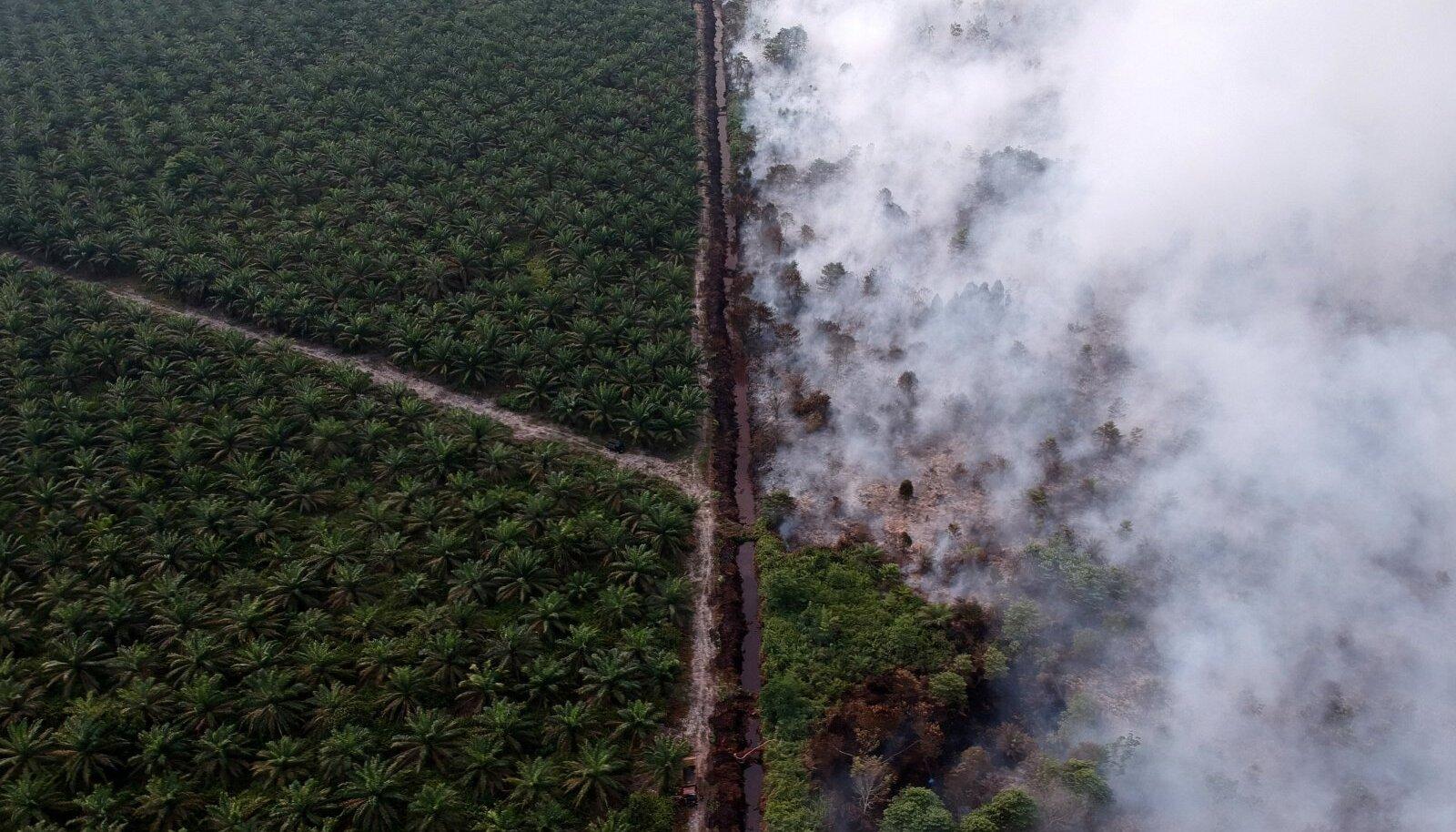 Enne palmiistanduste rajamist põletatakse tihti maad, mis soodustab kliimamuutust paisates õhku süsihappegaasi ja hävitab kohalikku elustikku.