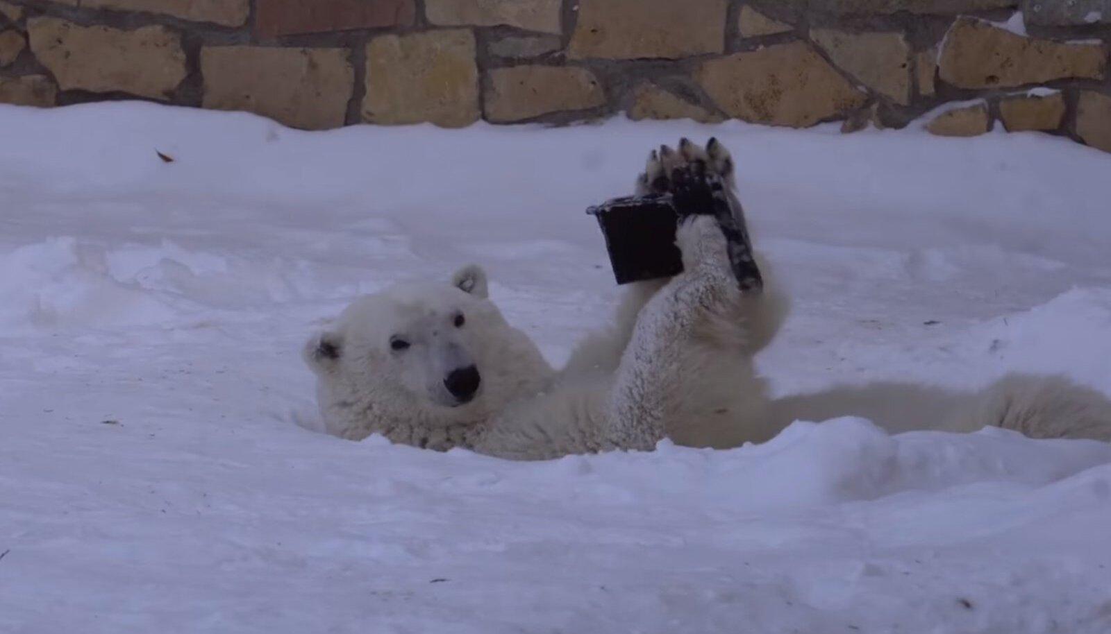 Jääkarude tutvumisel on Friida esialgu ujedam pool, Raspi aga hakkajam
