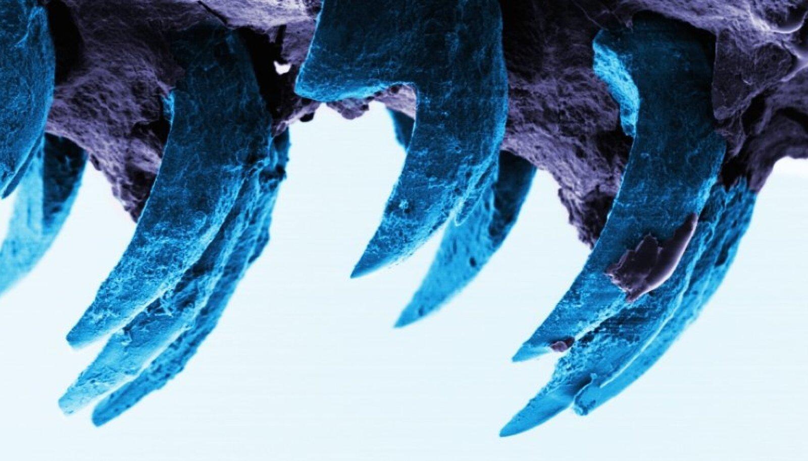 Meriteo hambad skaneeriva elektronmikroskoobi all. (Foto: Portsmouthi ülikool)