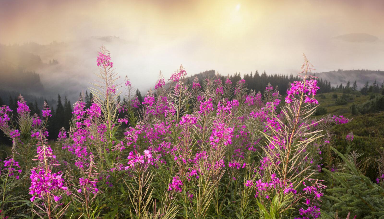 Põdrakanep ehk taim, millest valmistatakse imelist teed Ivan-Tšai.