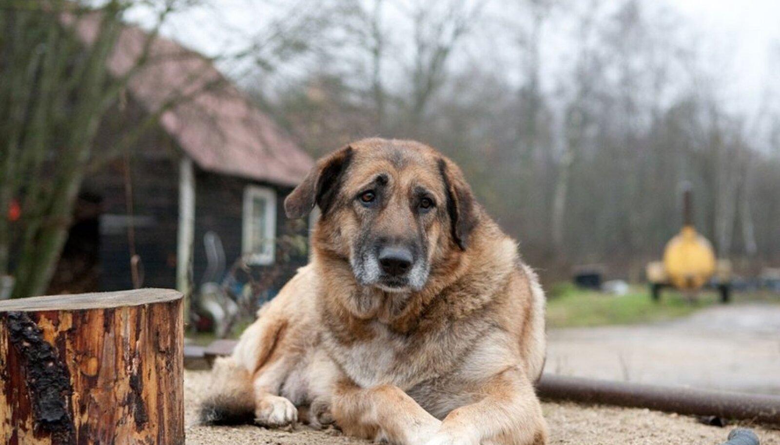 Koer ei hakka end kraapima mitte seepärast, et kirp teda hammustab, vaid ta on kirbu süljele allergiline.