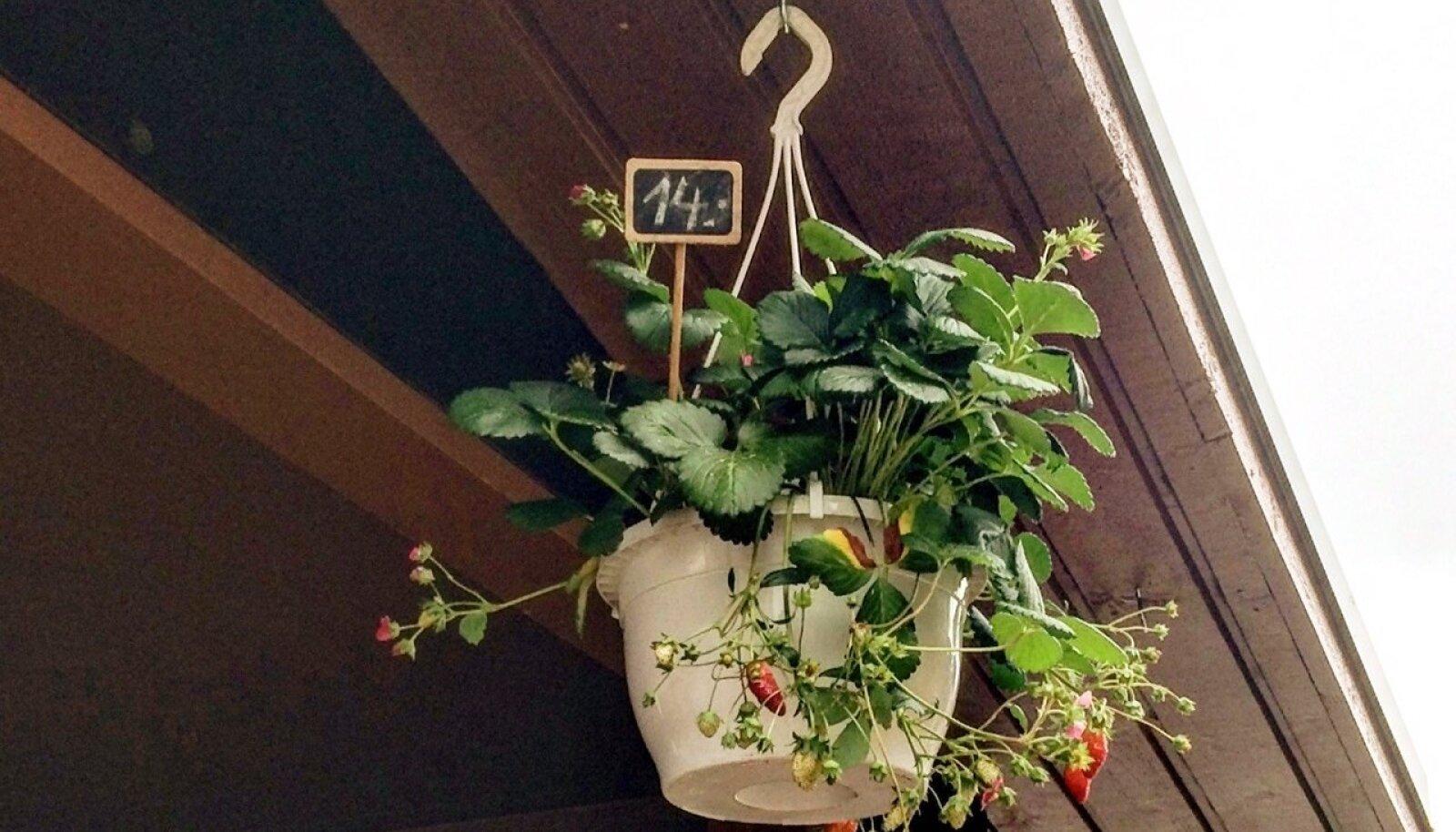 Maasikaampleid ei leidu-nud enne jaani üheski Tartu suuremas aiandus-poes. Küll oli neid Paide turul.