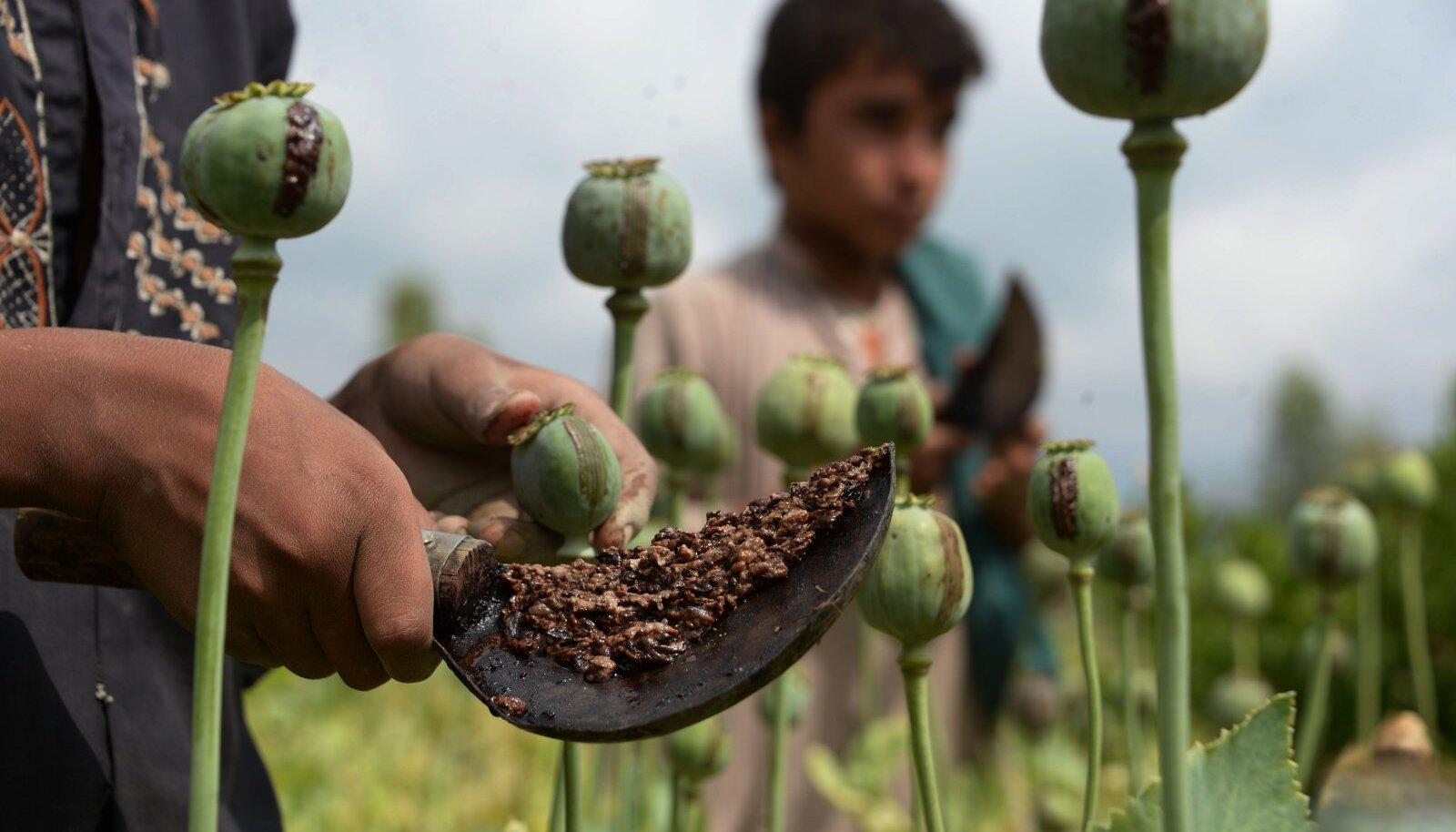 Afganistani lapsed moonipõllul oopiumi kogumas