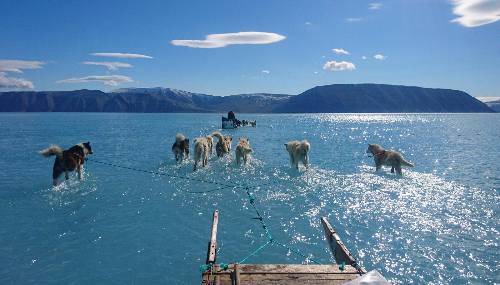 Koerad vedamas kelku merejääl läbi jää sulamisest tekkinud vee. See pilt tehti juunis, kui Gröönimaa sulamine esimest korda muret tekitas