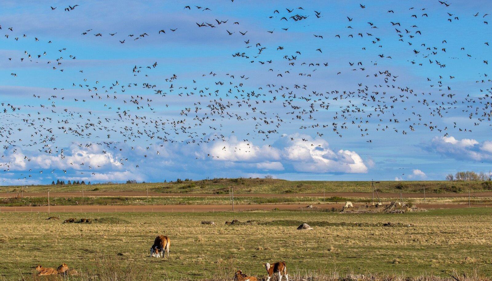 Haned, Lääne - Virumaa, põld, heinamaa, lehmad