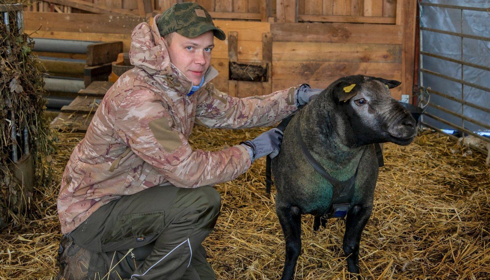 """""""Elus tuleb ikka seda teha, mis endale meeldib, mina valisin maaettevõtluse ja lambakasvatuse,"""" teatab lihatehnoloogiks õppinud Priidu Veersalu oma talulaudas. Pildil koos sinise tekseli tõujääraga."""