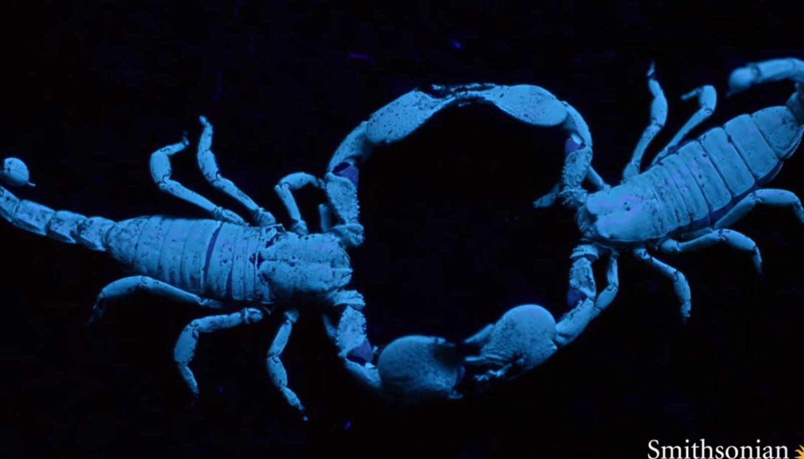 Skorpionide paaristants võib isase jaoks viimaseks jääda