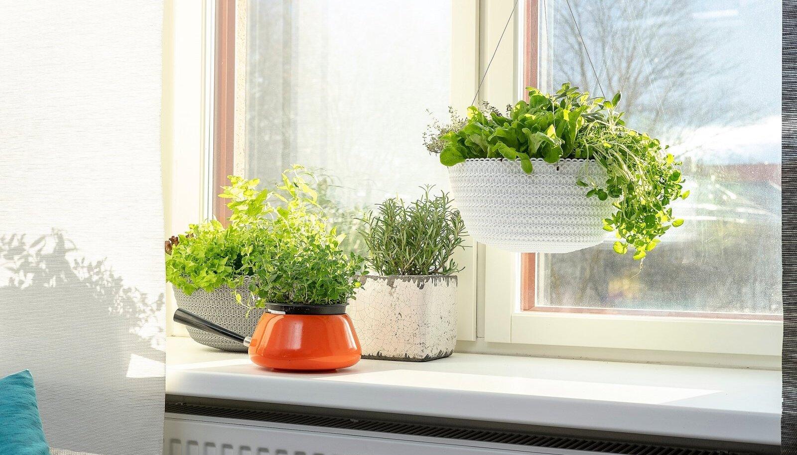 Köögiviljataimed on sama ilusad nagu toalilled ja neidki võib vabalt elutoa aknal kasvatada.