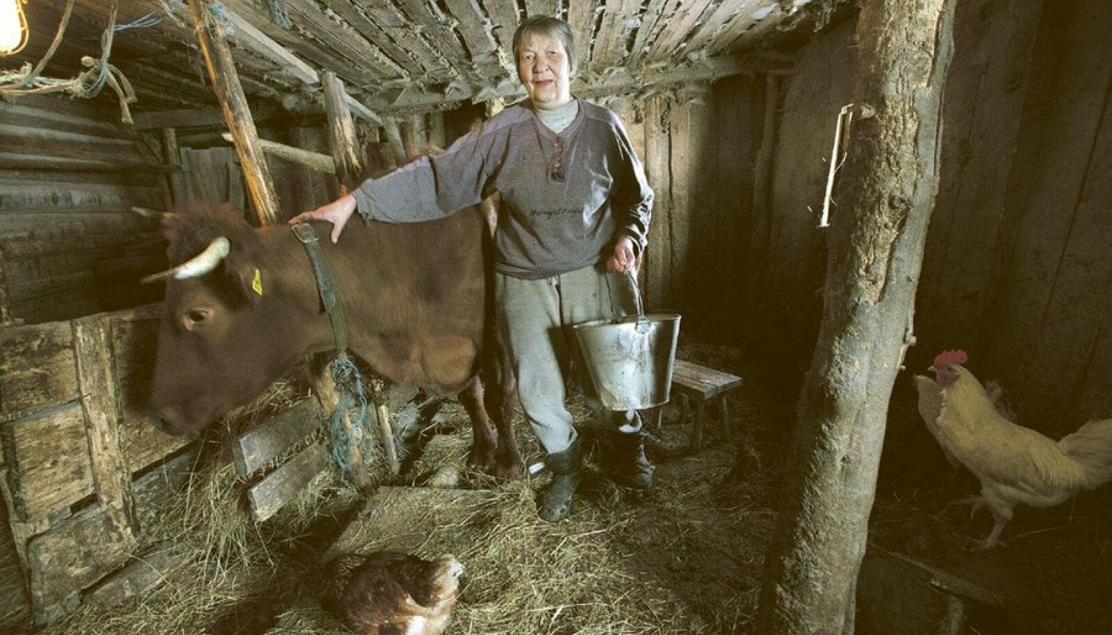 Suure-Jaani lähedal viimased 17 aastat oma tarbeks lehmi pidanud Luule Lippus räägib, et kui linnainimesed tulevad maale saabudes jooksujalu  temalt piima küsima, siis maainimesed eelistavad seda poest osta – tervis ei kannata enam rasvast maapiima.
