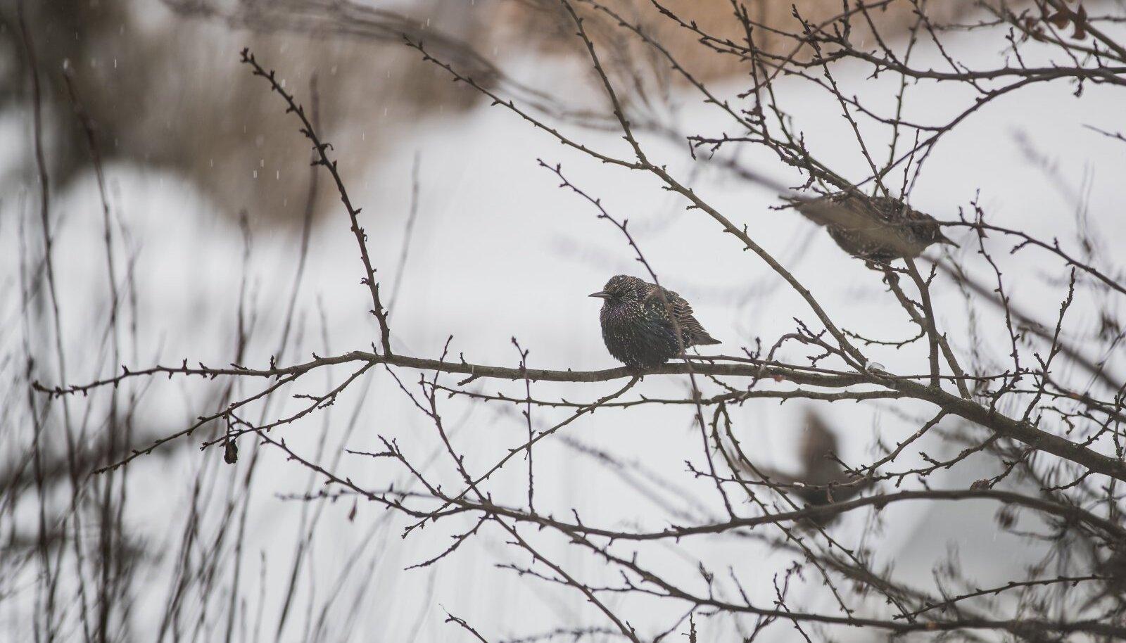 Tänavu tuleb teateid, et ka kuldnokad, meie aasta linnud on parvedena talveks Eestisse jäänud.