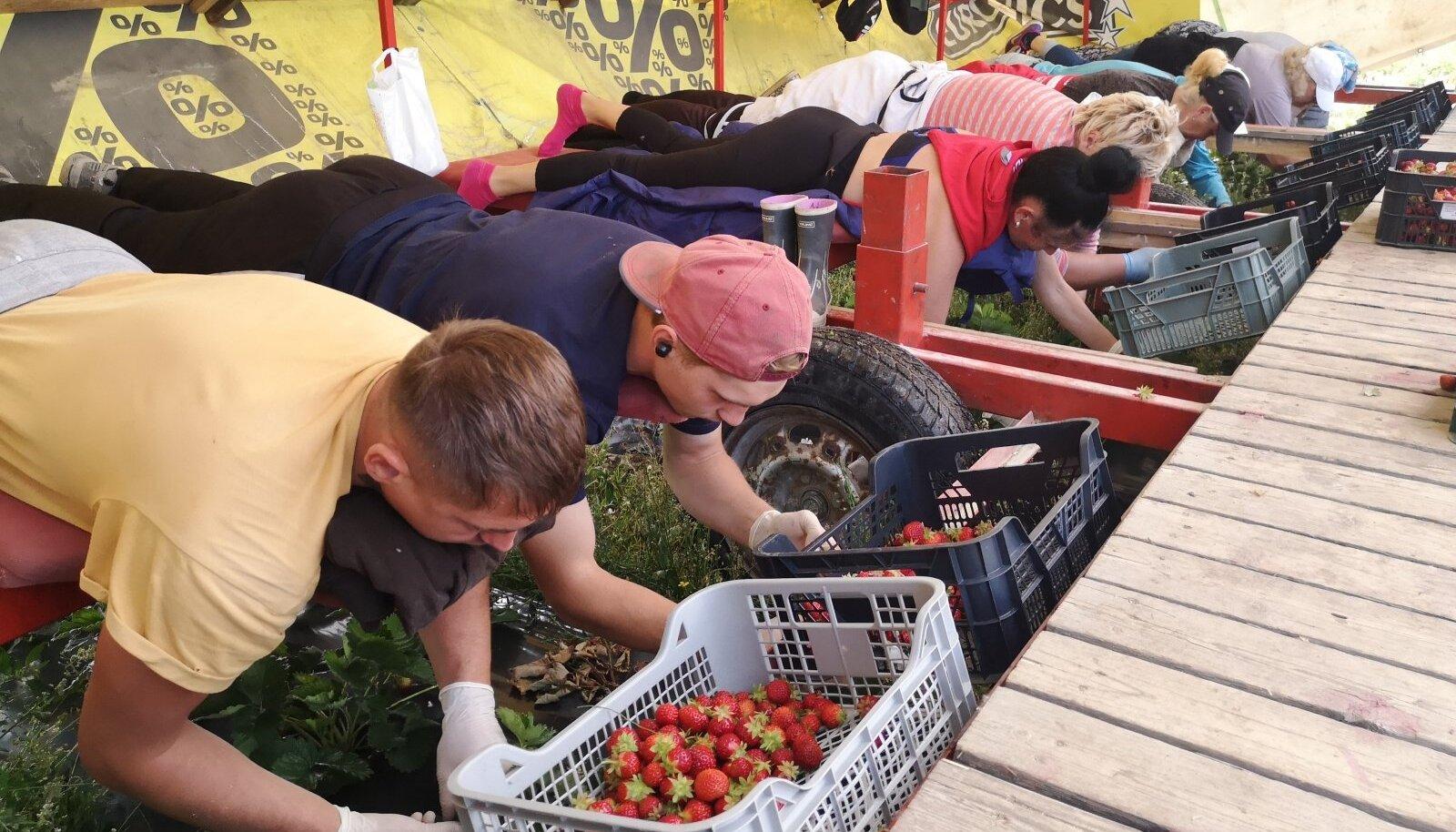 Aasta Põllumees 2020 kandidaadid, žürii ringsõit, maasikakorjajad, maasikad