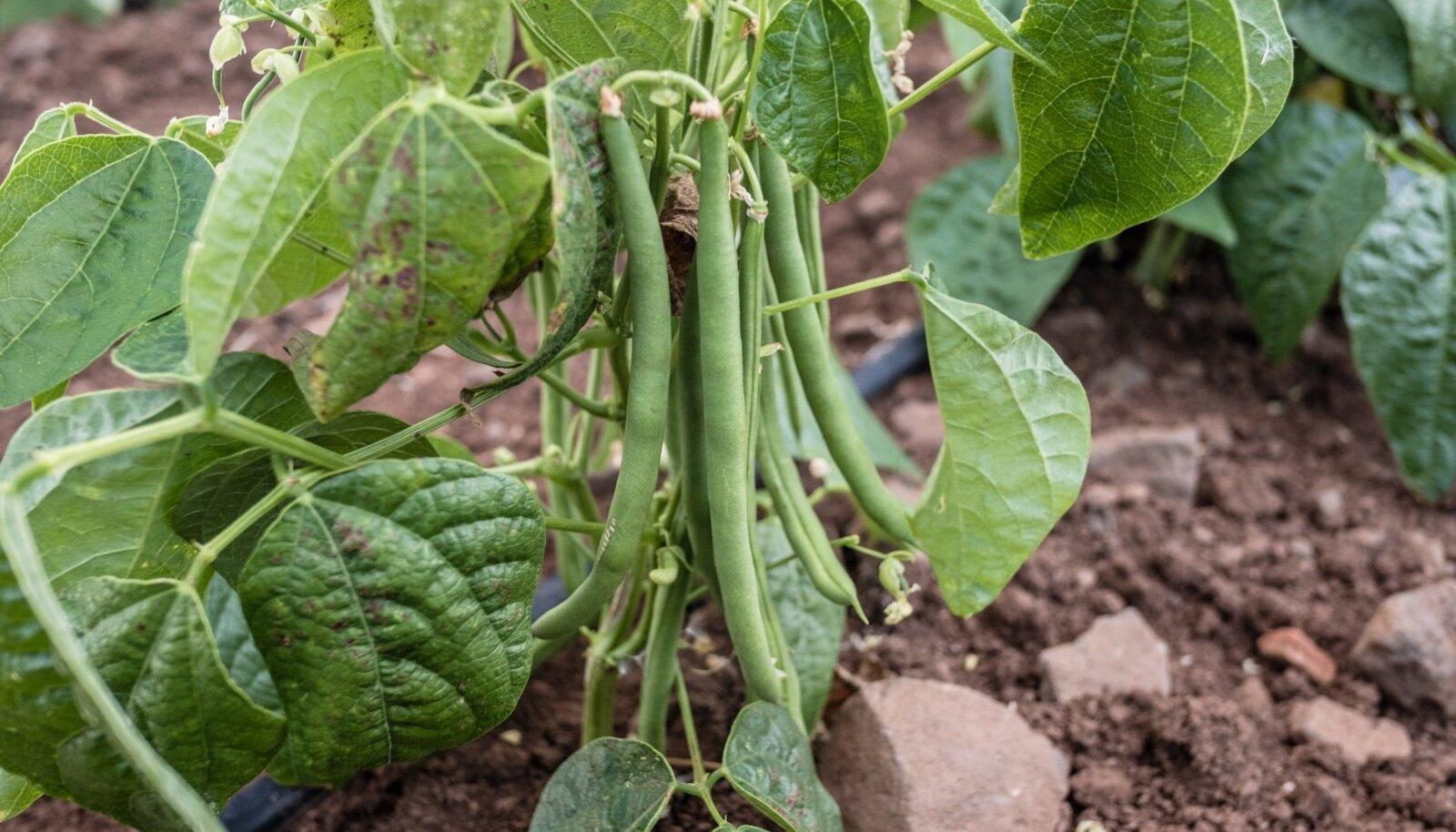 Aedoale valige soe ja mõõduka viljakusega kasvukoht.