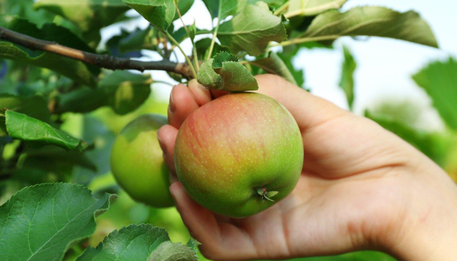 Õunu tuleb korjata otse puu otsast ja koos varrega, see aitab kaasa säilimisele ja kaitseb bakterite ligipääsu eest.