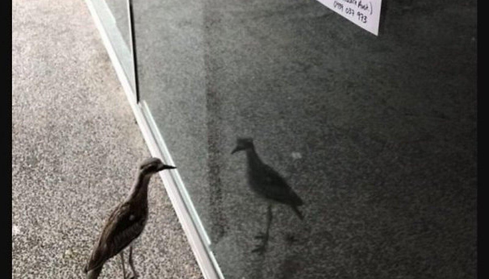 Austraalia jämejalg pole edev, vaid hämmingus oma peegelpildist, mida ta peab tõenäoliselt liigikaaslaseks.