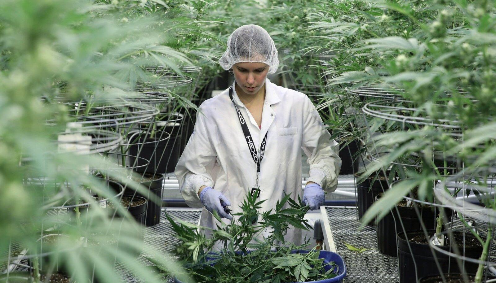 SUUR SAAK: Töötaja kogub Kanada kanepikasvataja Hex Corp kasvuhoones kanepitaimede lõikeid.