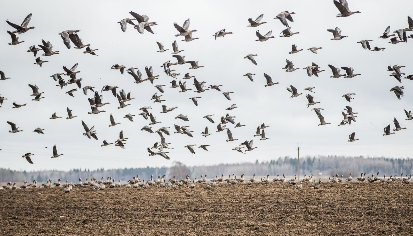 Kevadel põldudele laskuvad rändlinnud on Mandri-Eesti põllumeestele saanud tõsiseks nuhtluseks, sest on võimelised värskelt külvatud viljaseemne nahka panema.