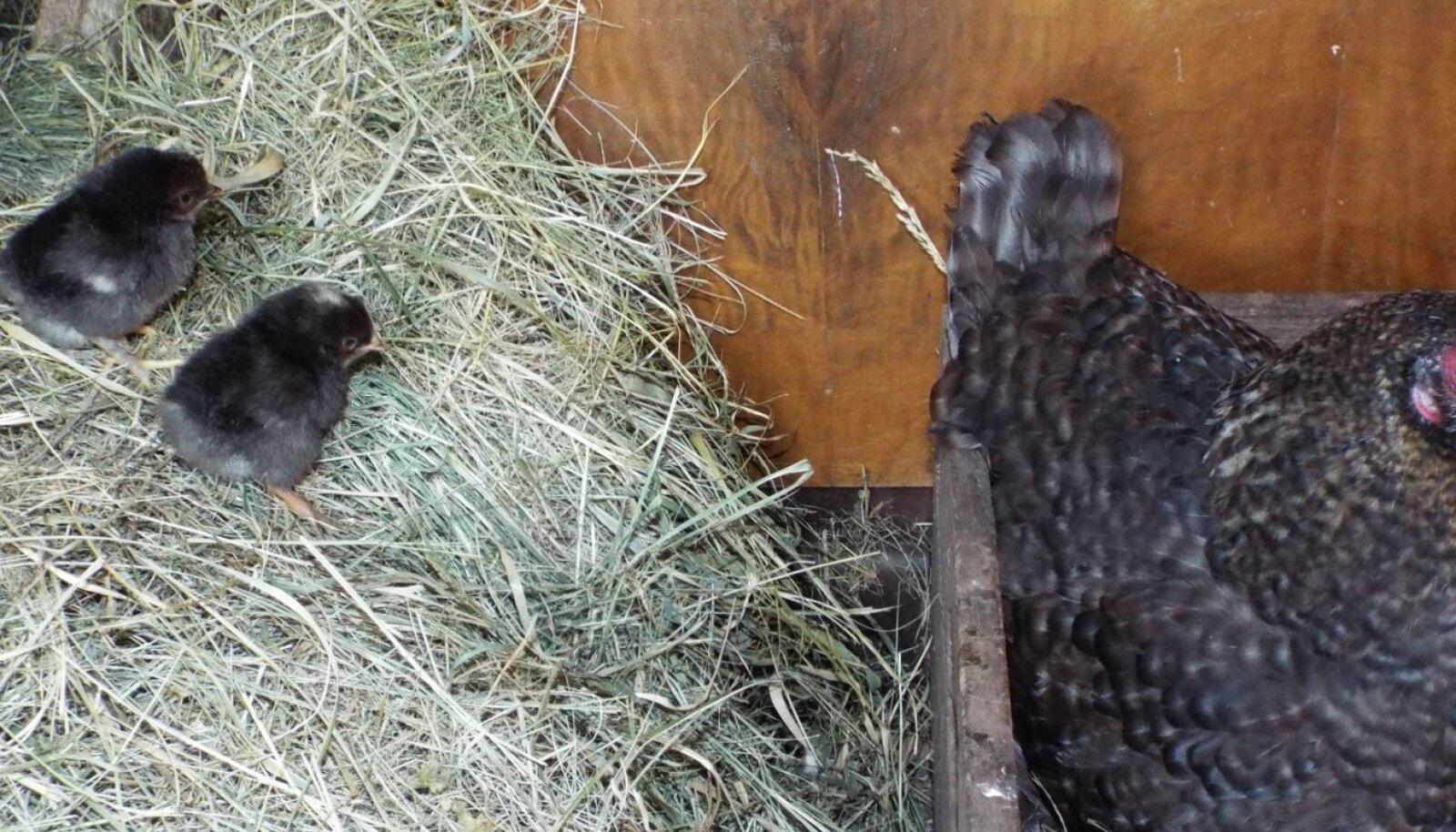 Kanaema haudus välja kaksikud tibud