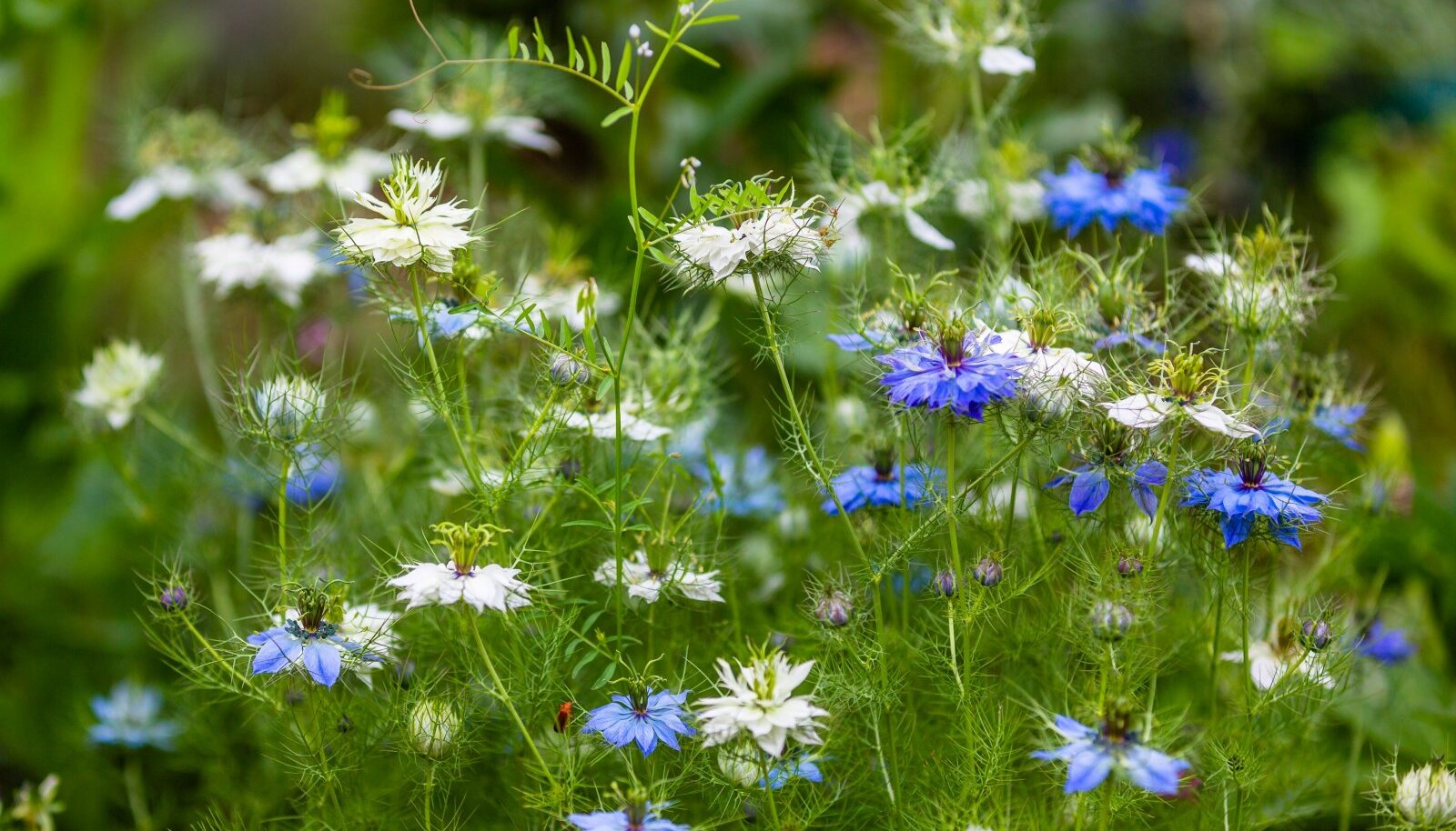 Õrnade õitega mustköömnet võib suvelillena kasvatada nii aias kui amplis või rõdukastis.