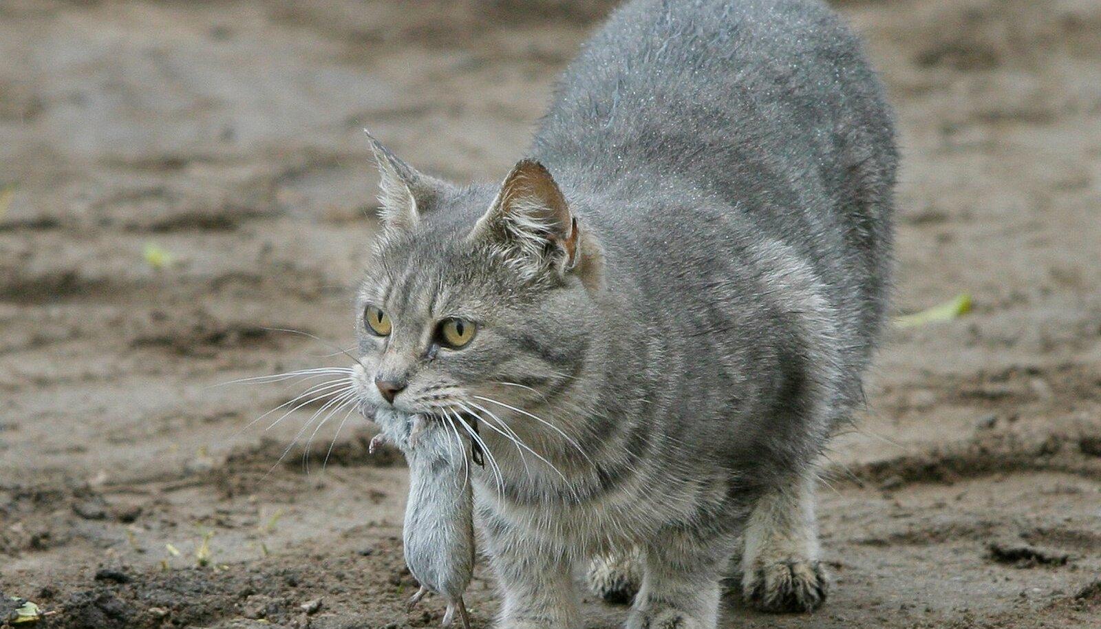 Kui kassil on huvi hiiri püüda, jätkab ta seda ka pärast steriliseerimist