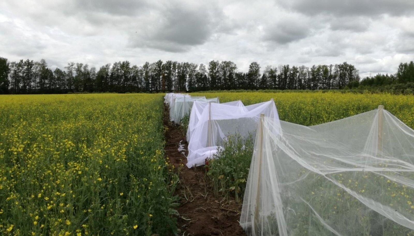 Maaülikool ja mullaklaster katsetavad, kas rapsi on võimalik kasvatada bioloogiliste taimekaitsevahendite abil.