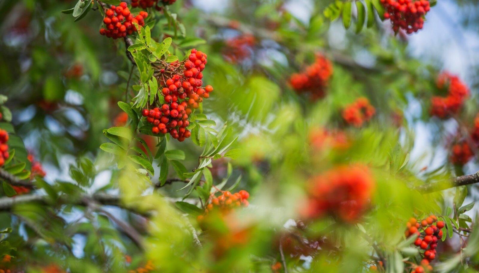 Pihlakamarjade rohkus näitab sügiseks rohkelt sademeid ja külma ka.