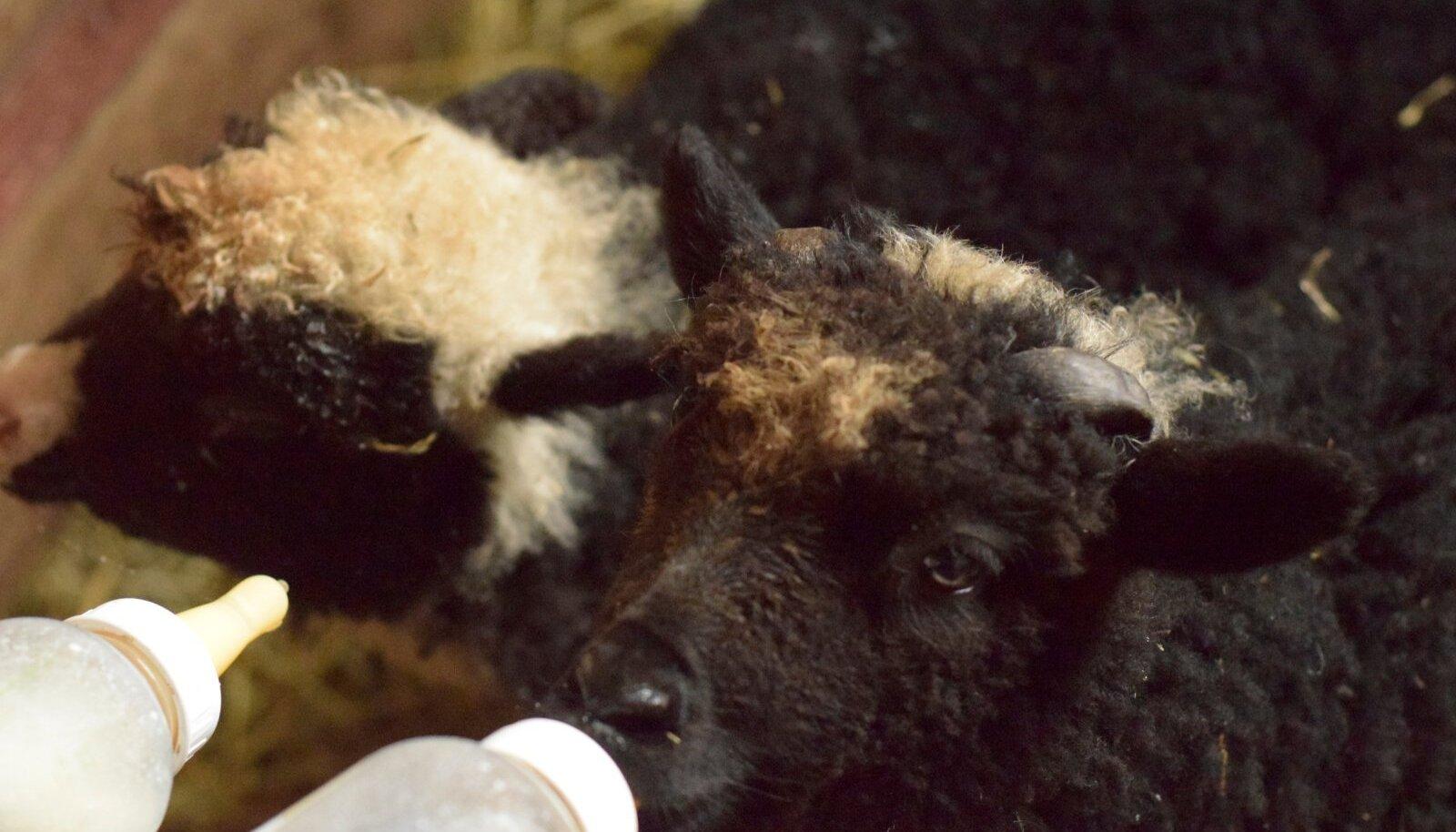 Kui lambatalled vaeslapse ossa jäävad, peab perenaine neile lutist piima jootma.