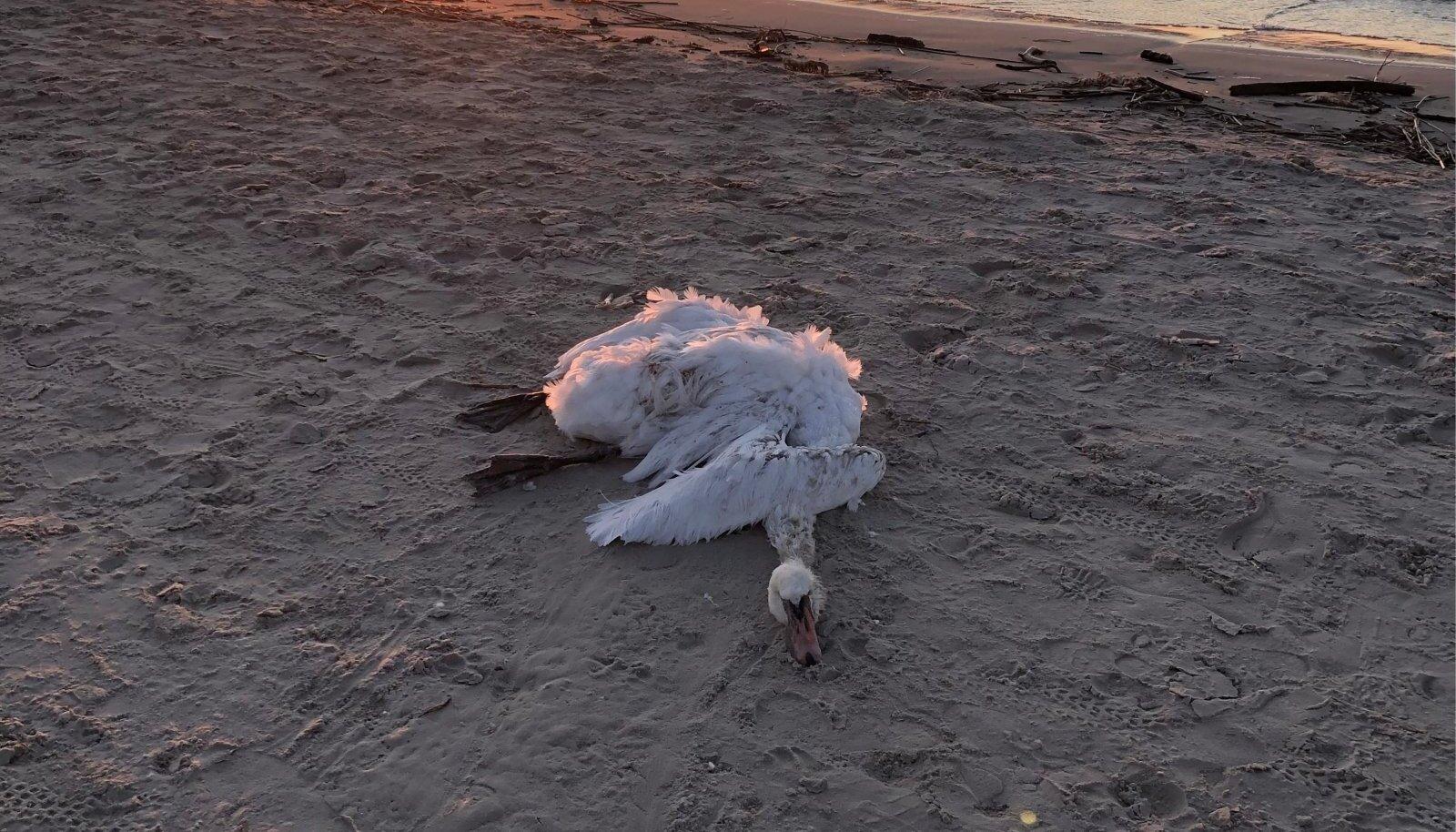Loojang. Kokku on linnugripp murdnud sadu kui mitte tuhandeid luikesid, põllumajandus- ja toiduametile on teada antud umbes 400st.