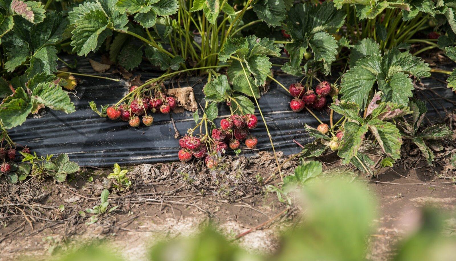 Läinud aasta suvel kohtas sellist maasikapõllu pilti sageli.