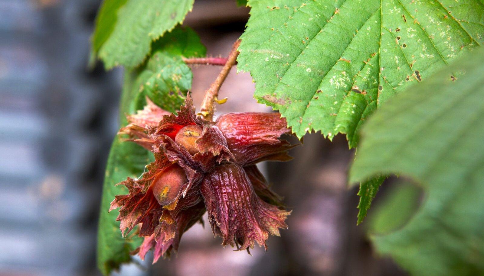 Punaseleheliselt harilikult sarapuult saab samuti pähkleid. Tema kevadel punased lehed muutuvad suve edenedes roheliseks.