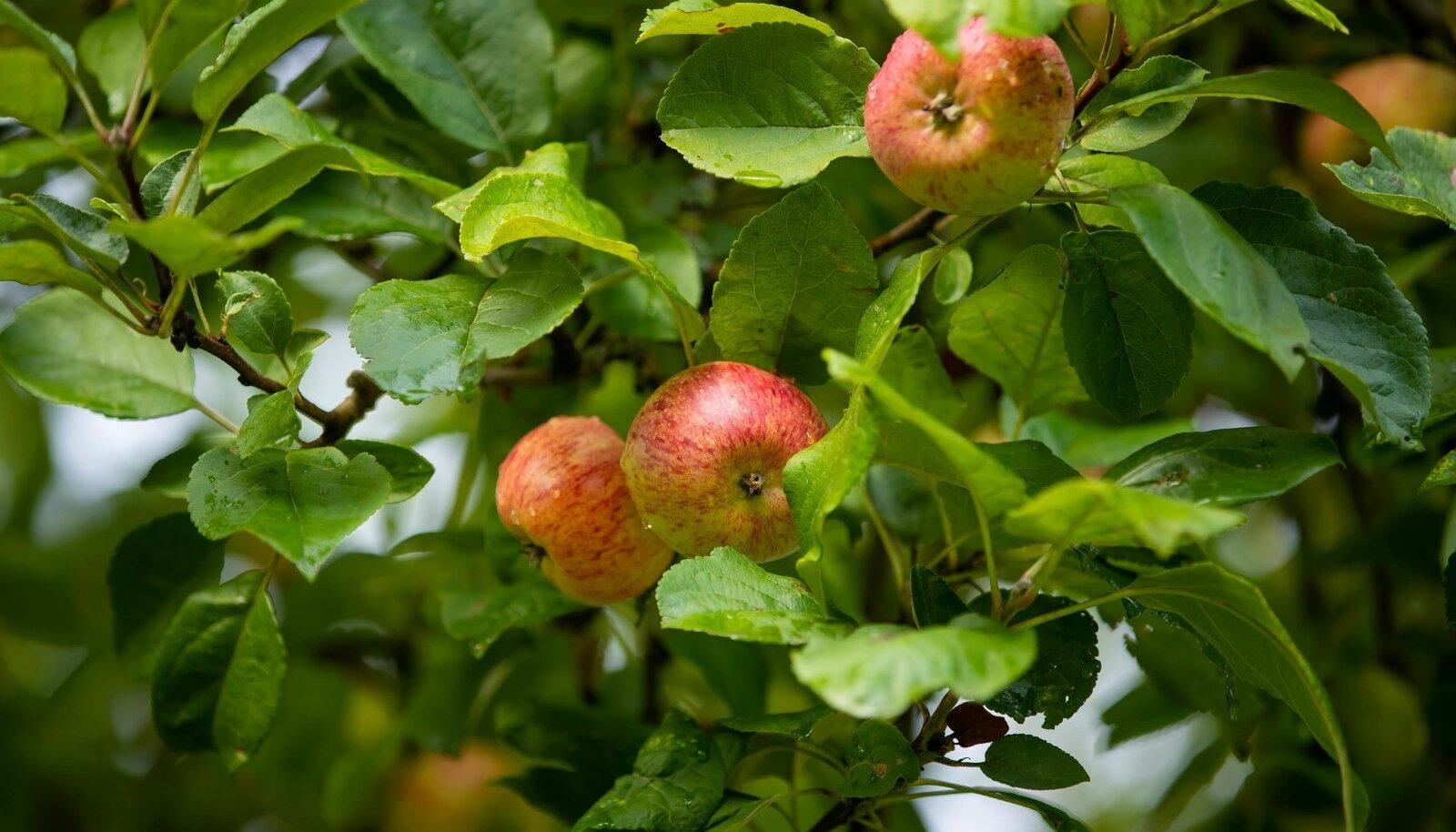 Peale õunte sai paasapäevast alates hakata sööma ka muid vilju ja värsket mett.