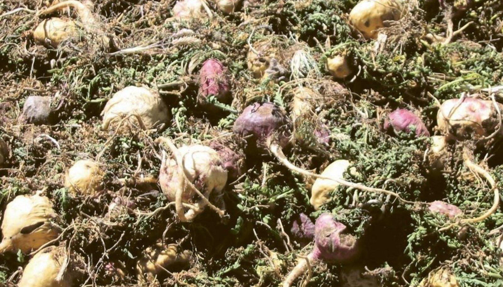 Mugulkressi juured on rikkad toitainete poolest.