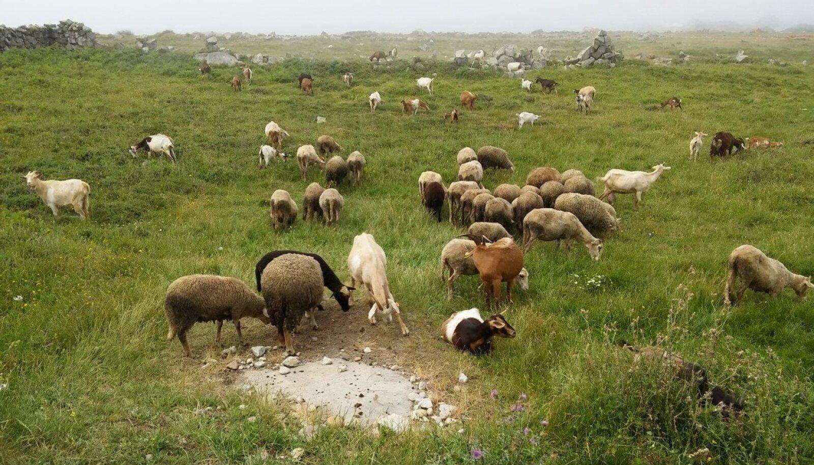 Portost algavat Portugali rannikurada ilmestavad lisaks sombustele ilmadele ja ookeanile ka sellised idüllilised maaelupildid,kus leiab suures karjas lambaid võikitsi, kellel on matkajatest üsna ükskõik.