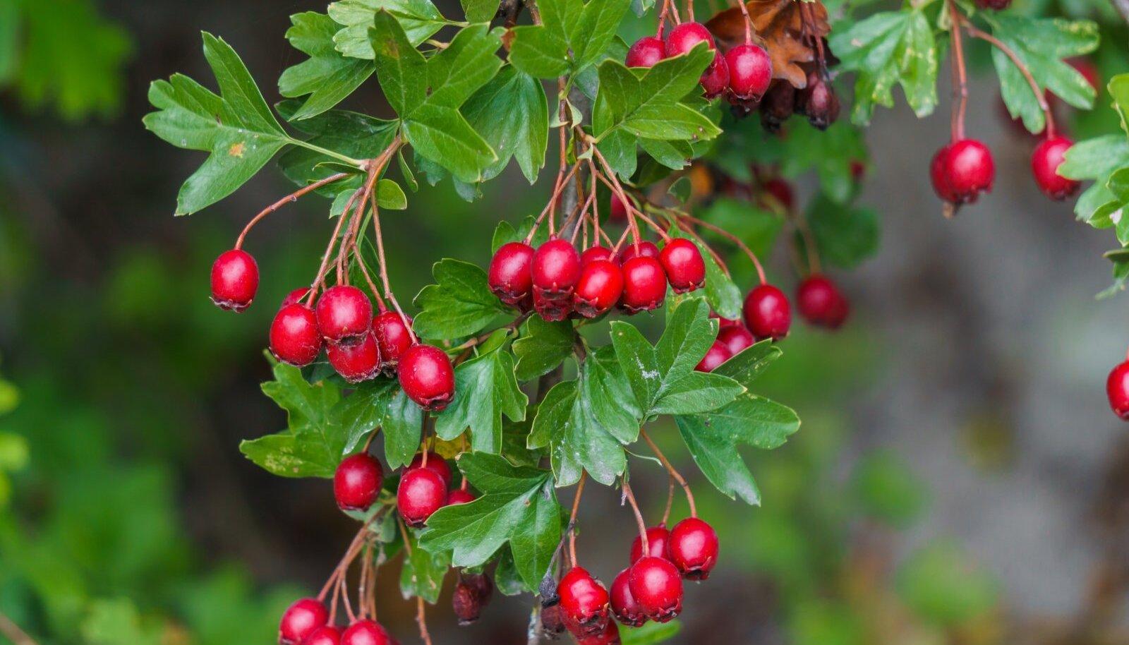 Viirpuu on ka tuntud hekitaim, mis lummab oma ilusate marjadega.