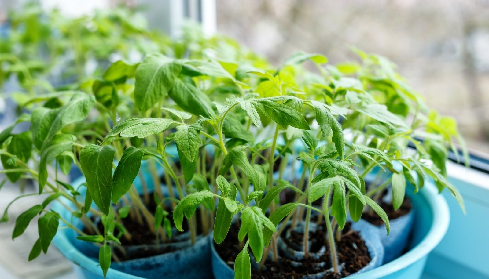 Tomatitaimedki kasvavad hästi.