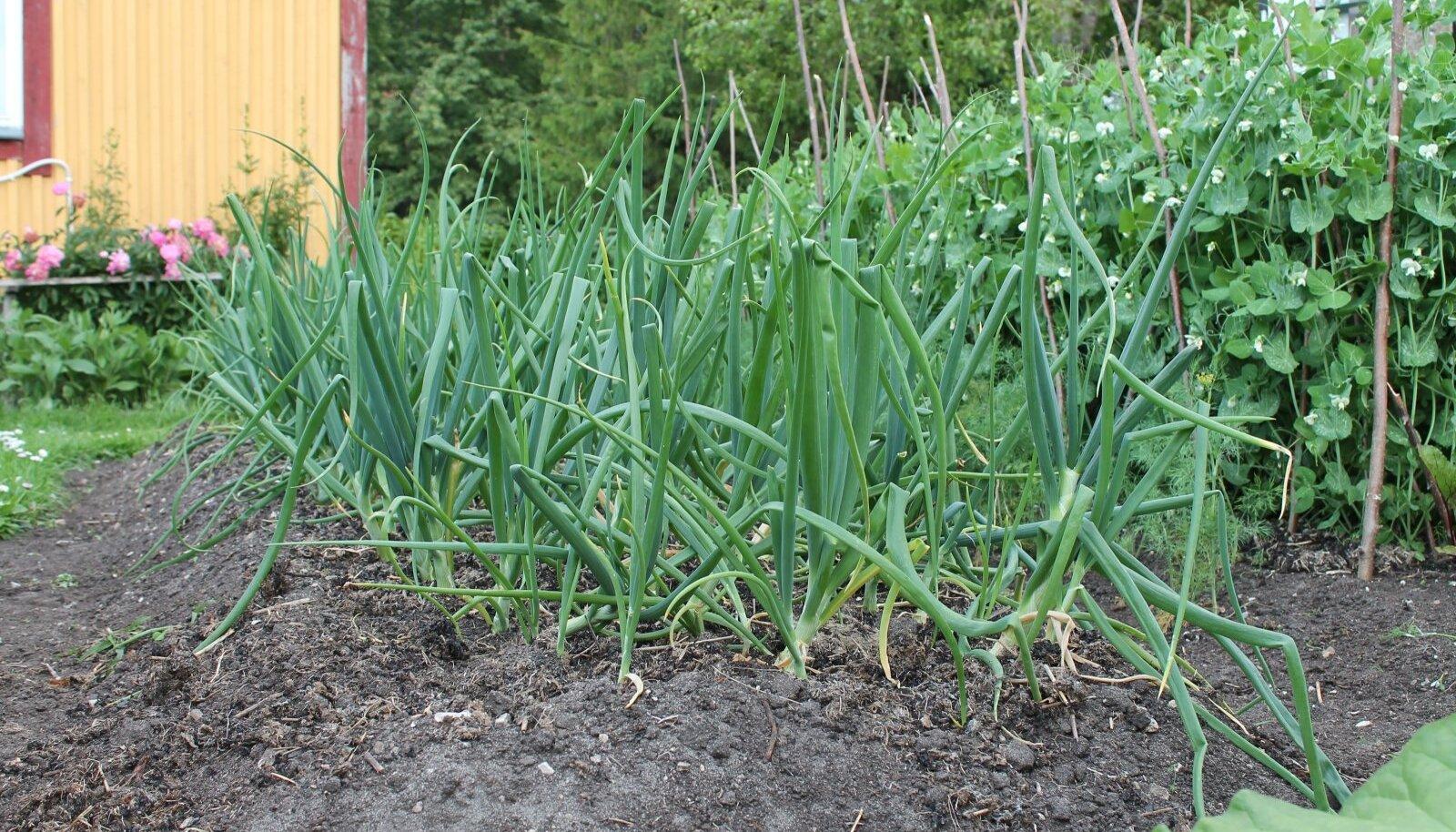 Sibul tahab kerget mulda, päikeselist ja üsna tuulist kasvukohta.