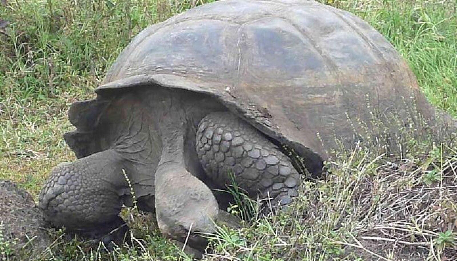 Galapagose elevantkilpkonn