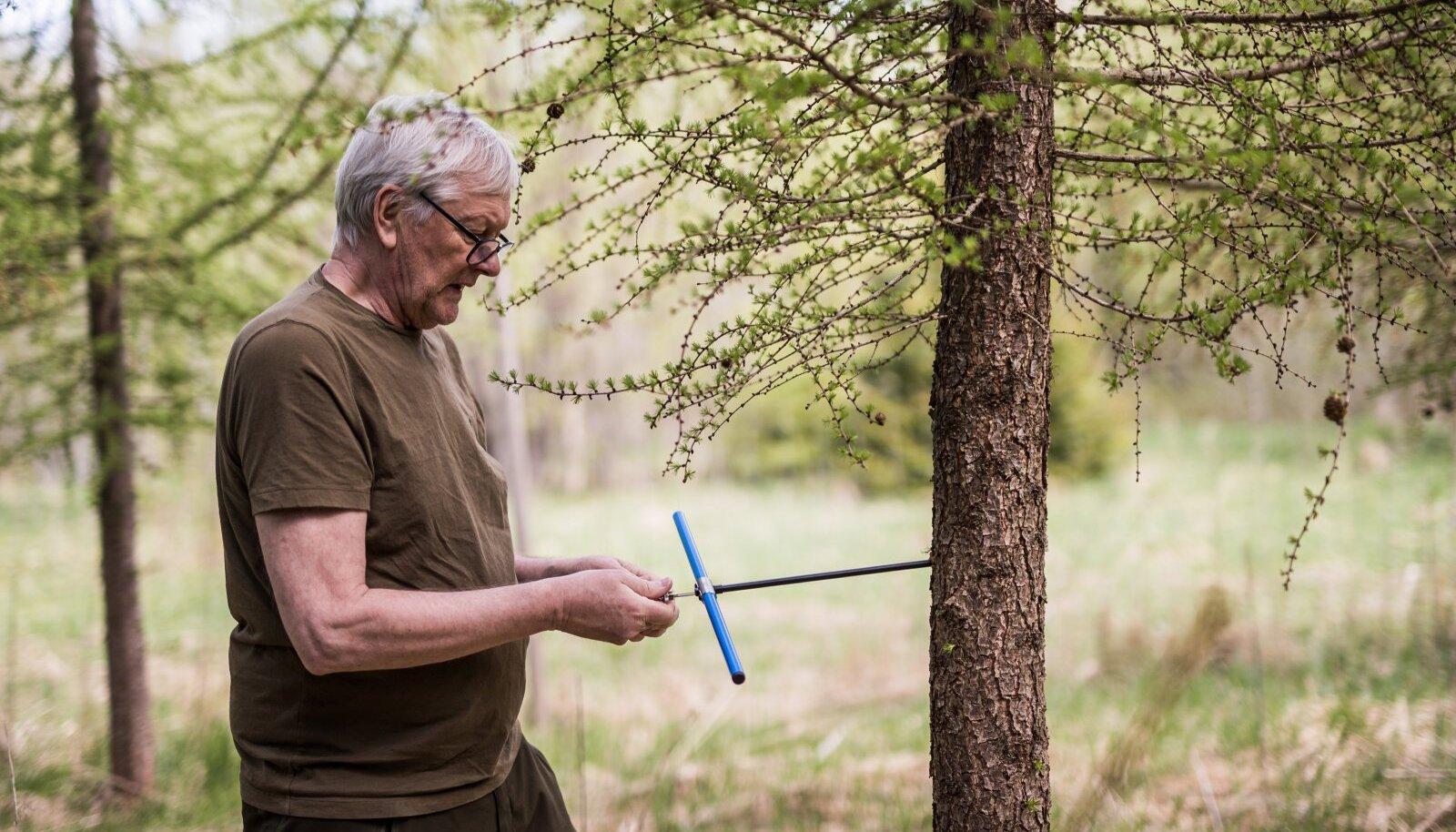Mart Erik puurib juurdekasvu puuriga 2012. aastal istutatud lehise tüvesse.