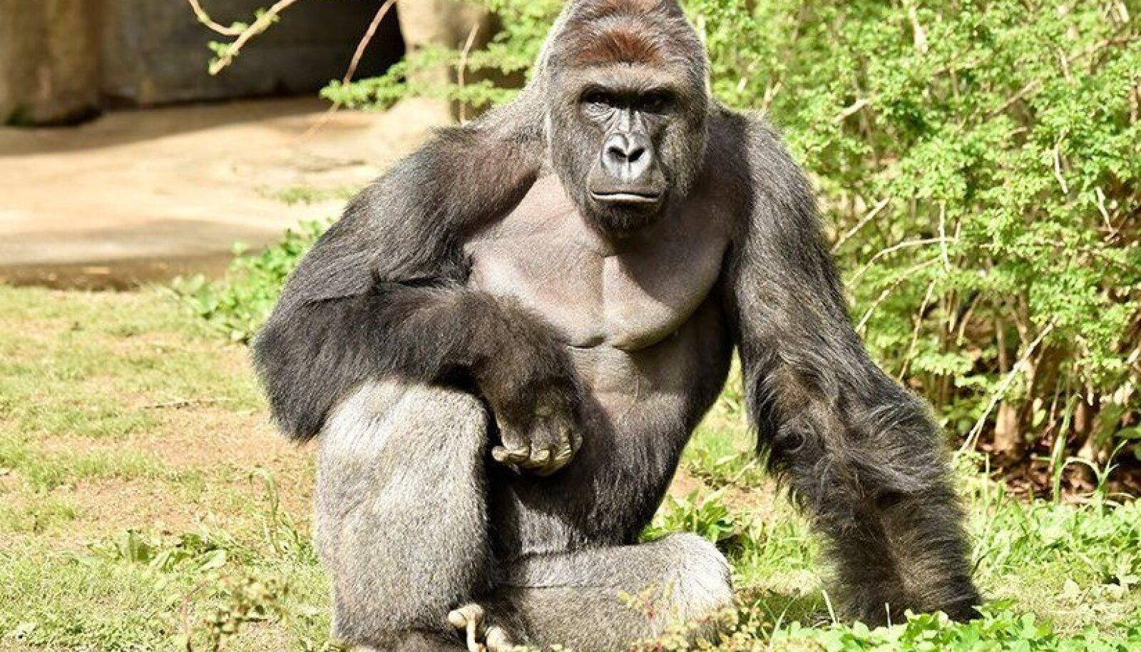 Gorilla Harambe.