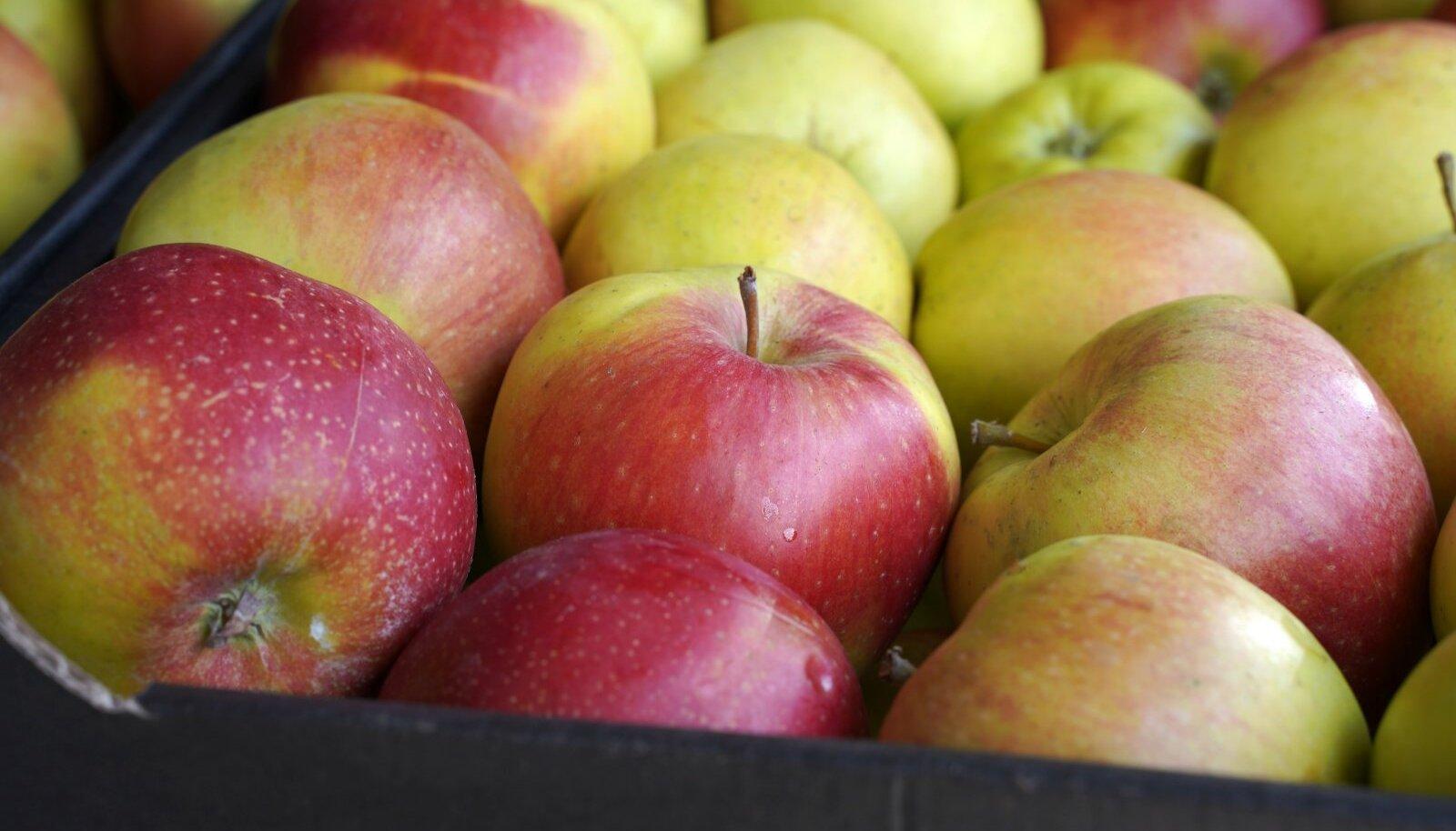 Õunad säilivad kõige paremini ühekordse kihina kastidesse laotult.