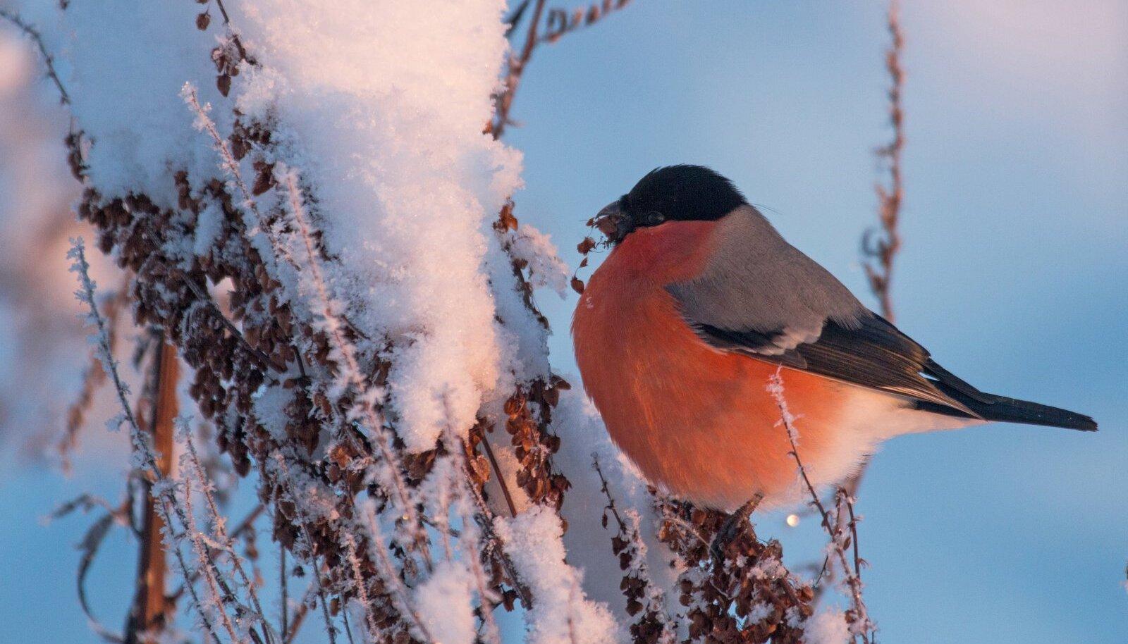 Umbrohuseemned on talvel leevikestele hüva söögipoolis. Uhket punast kuube kannab isaslind.